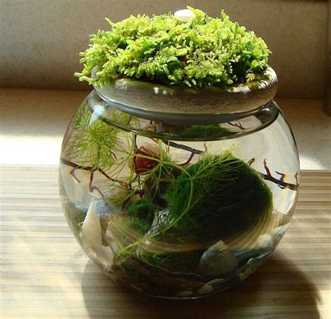 Medium Japanese Mossball 25 best ideas about marimo on