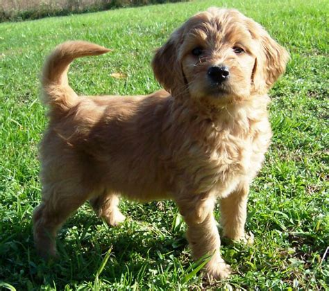 golden labradoodle puppy goldendoodle puppies for sale