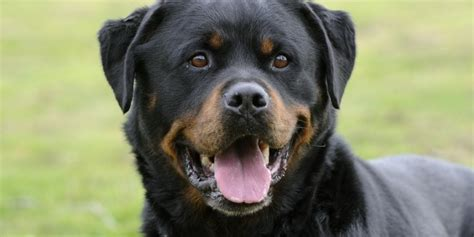 average age of a rottweiler rottweiler wallpapers pictures images