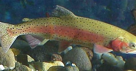 lahontan cutthroat trout species oncorhynchus clarki