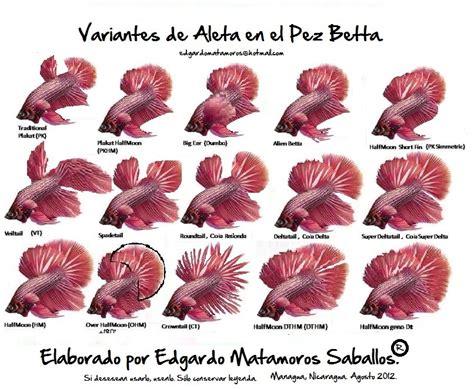 Ikan Cupang Hias Indukan Halfmoon Koi Fullblock bettas half moon nicaragua centroam 233 rica taringa