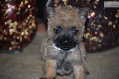 puppies for sale in salem oregon cairn terrier puppy for sale near salem oregon 5681139c fe31
