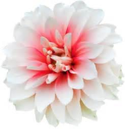 Transparent Flower Images - disney s frozen headcanons if anna and elsa were flowers