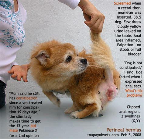 pomeranian anatomy 20100622hamster health care wart cyst problems in singapore dogs fistula
