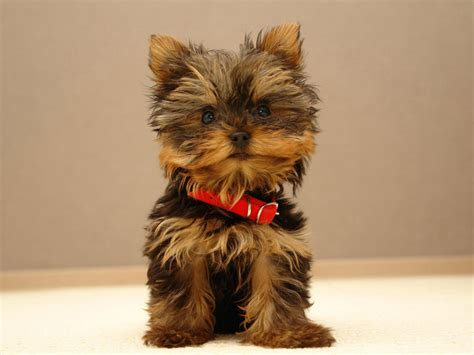 yorkie puppy pictures terrier