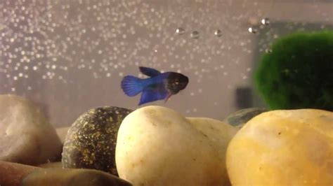 beby bett name my baby betta fish