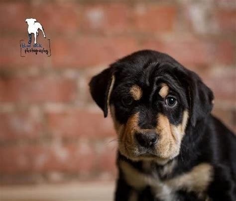 puppies for adoption rochester ny berkley for adoption at petfinder rottweiler mastiff mix an adoptable in