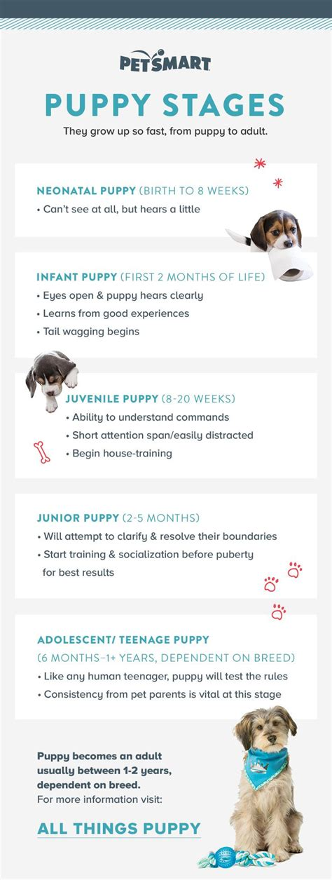 puppy stages the 25 best adolescence stage ideas on child child development and