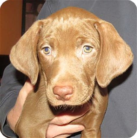 weimaraner and golden retriever mix weim lab puppies adopted puppy st louis mo weimaraner labrador retriever mix