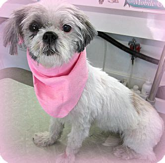 shih tzu in nj jade adopted 22890 forked river nj shih tzu mix