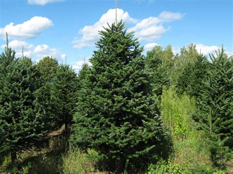wholesale vermont christmas trees