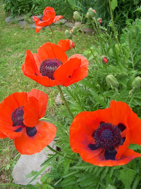 Poppy Flower Garden The Poppy Story The Apron Gazette