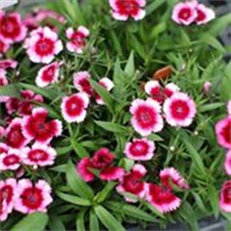 piante tappezzanti perenni fiorite fiori da giardino perenni piante perenni giardino