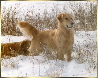 karagold golden retrievers karagold golden retrievers florida