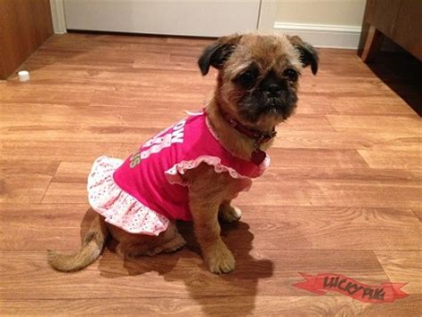 who is peggy the pug pug zu hybrid breed information pictures pug cross shih tzu