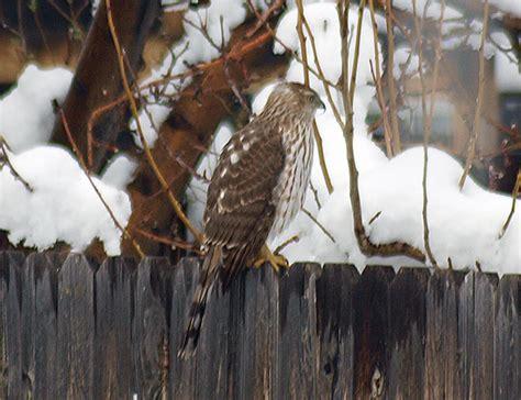 front side back juvenile juv back eating close ups close ups 2 flying front side back juvenile juv back eating close ups close
