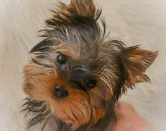 teacup yorkie nashville tn 1000 images about puppy s on yorkie puppies for sale yorkies and teacup
