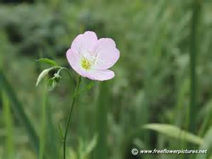 Primroses Flower - showy evening primrose pictures pink evening primrose pictures