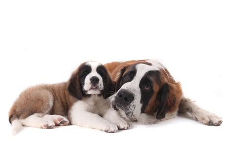 best therapy dog breeds dog breeds top 10 therapy dog breeds