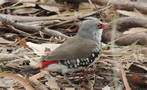 birds archives euroa arboretum