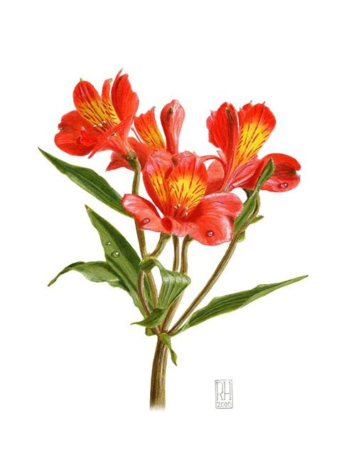 alstroemeria painting by richard harpum