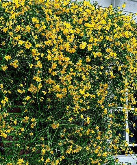 yellow flowering climbing plants 17 best ideas about jasminum nudiflorum on