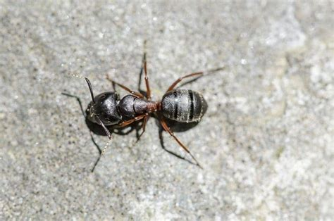 rid   dead mice smell spraying  bed bugs  pregnant carpenter ant