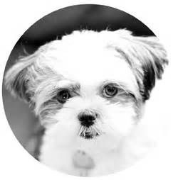 shih tzu profile more backgrounds for cats and dogs and monkeys hi i m shih tzu