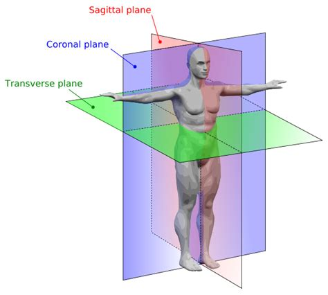 what does transverse section mean intro to human anatomy