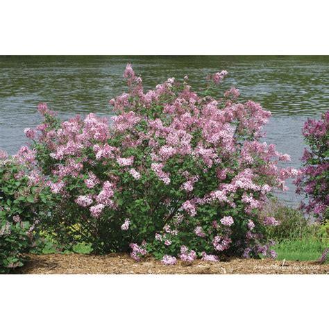 Flowering Garden Shrubs Proven Winners Bloomerang Pink Perfume Reblooming Lilac Syringa Live Shrub Pink Flowers 1