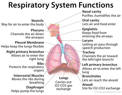 images of the respiratory system functions of the respiratory system