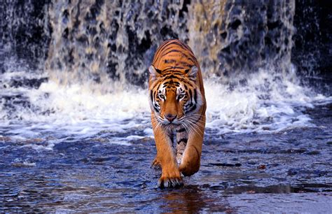 tiger print full hd wallpaper and background image bengal tiger awesome wallpapers ultra hd 4k
