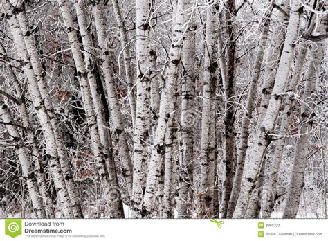 cluster exeter 9 tree birch tree cluster stock image image of northern wildlife 8365323