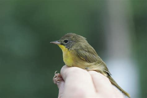 ohio bird photo collection common yellowthroat in hand