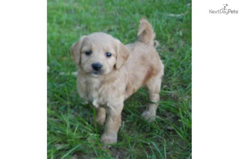 mini goldendoodle tennessee goldendoodle puppy for sale near tennessee