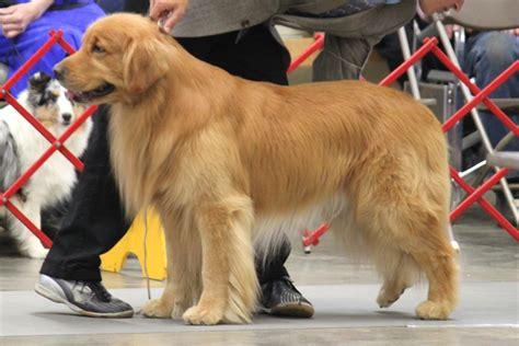 golden retriever espa ol perro golden retriever dogs in our photo