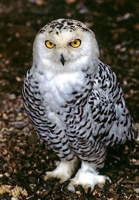 25 best ideas about owl bird on pinterest owl eyes owl
