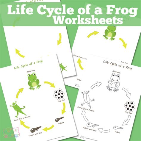 Cycle Of A Frog Worksheet by Cycle Of A Frog Worksheet Itsy Bitsy