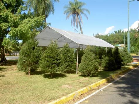 arboles navidad naturales vea nuestra venta de pinos de