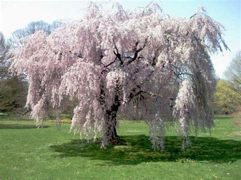 cherry blossom tree zone 5 prunus subhirtella pendula alba weeping cherry alba blerick trees buy trees advanced