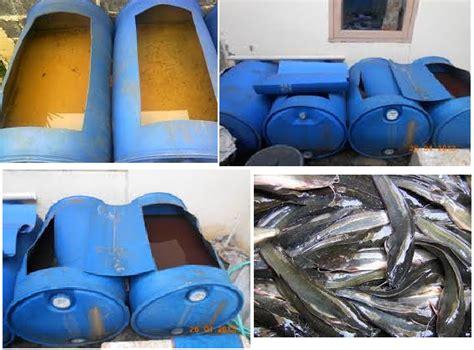 Pakan Ikan Lele 2 Minggu cara memulai budidaya lele dalam drum plastik untuk pemula