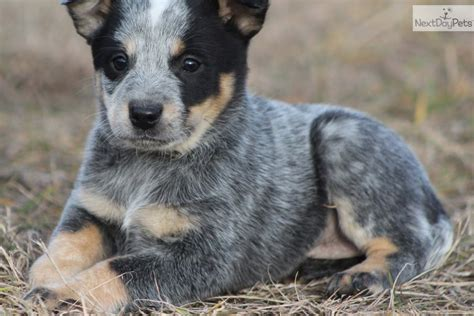 blue heeler puppies michigan australian cattle blue heeler for sale for 425 near grand rapids michigan