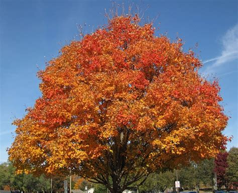 maple tree value tree profiles sugar maple acer saccharum part 1 iron tree service
