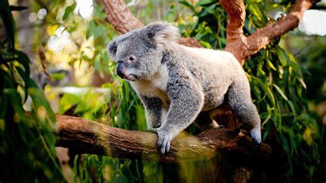 green koala wallpaper racing to rescue koalas national geographic