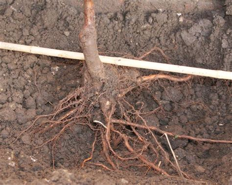bare root fruit trees how to plant apple trees and other fruit trees