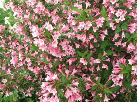 cespugli da fiore vivaio piante udine progettazione giardini udine