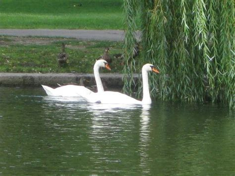 swan boats boston hours swan boats boston 2018 all you need to know before you