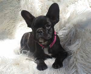 Displaying 18 gt images for adult french bulldogs