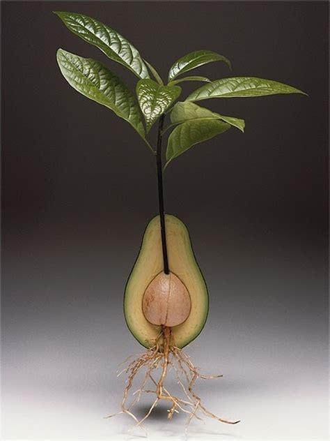 best indoor plants an avocado tree patio out door
