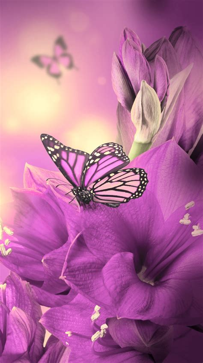 wallpaper for iphone 6 plus flower primula purple butterfly iphone 6 plus wallpapers iphone